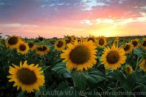 Sunflower Glory - Collin County, Texas