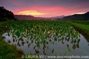 Taro Field Glow - Hanalei, Hawaii